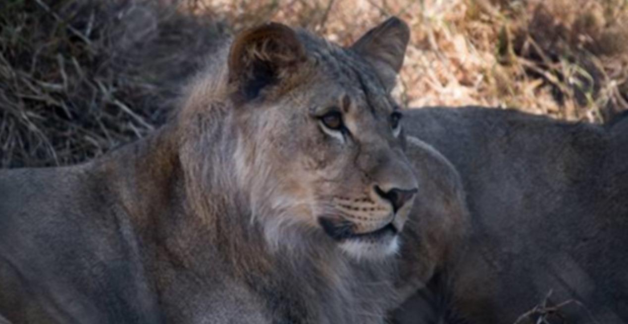 奥克兰动物园迎来了新朋友:狮子王三兄弟